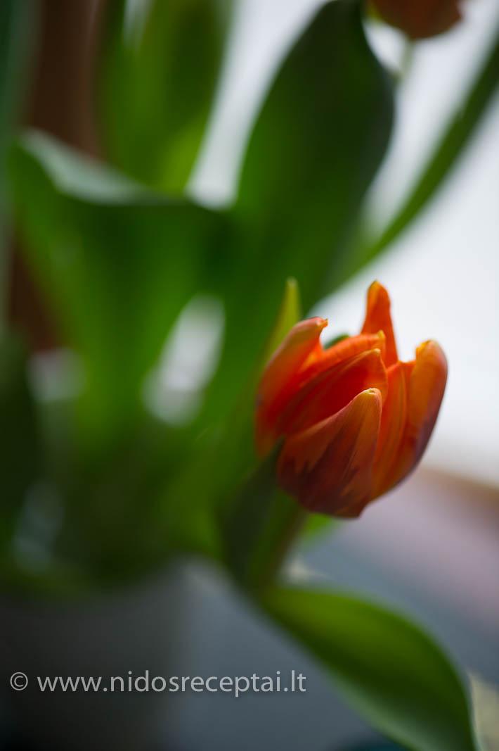 Tuplės, pavasario pranašės...