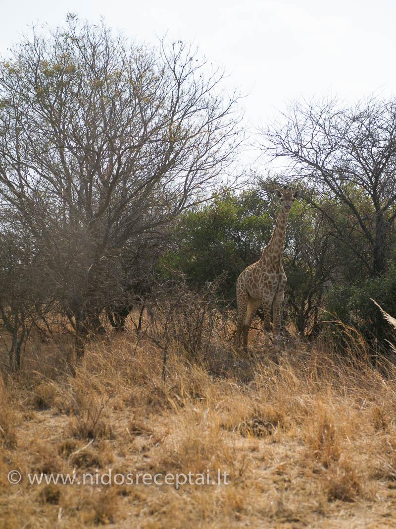 Šis žirafiukas toks užsimaskavęs tarp apdžiūvusių medžių, vos pastebimas...