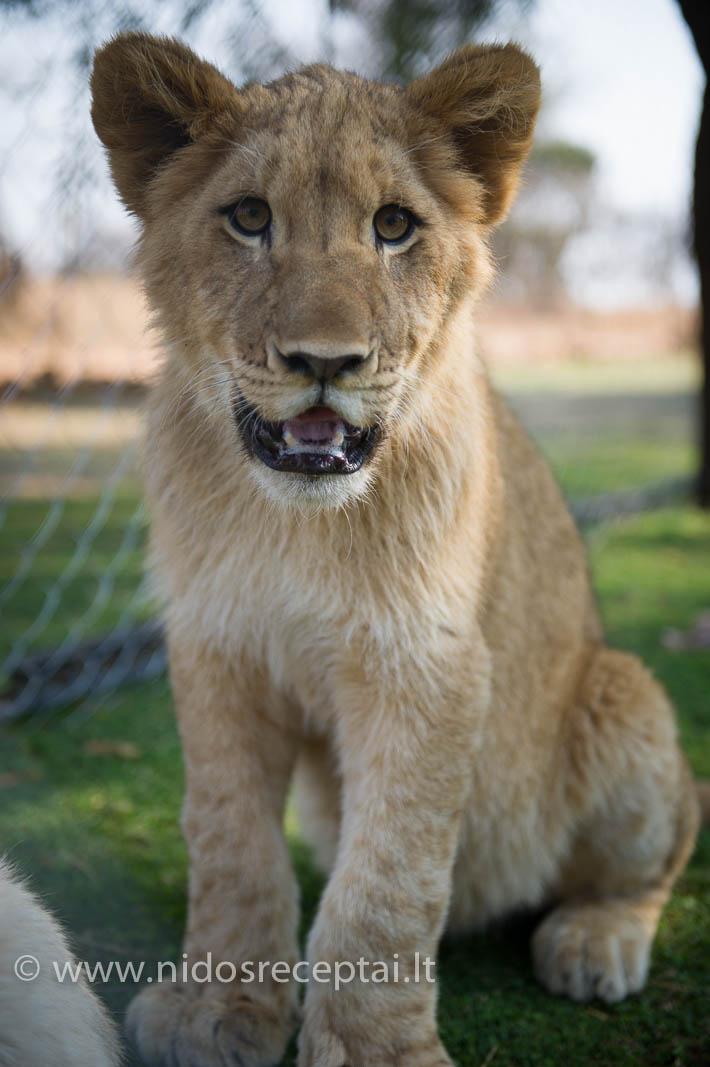 Žaidimų partneris - liūtukas Jessie