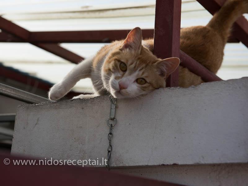 Labai keista, bet katės Korėjoje pririšamos lenciūgais:)