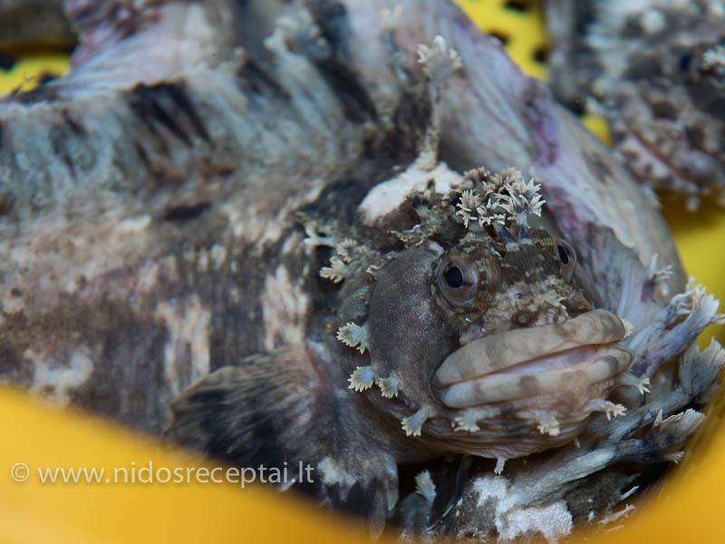 Man šios žuvys juokingiausios, jų lūpos primena botulino pripumpuotų pupyčių lūpas:) Bet jos pajėgios nukąsti metalinį kabliuką, tai rankų geriau arti nekišti